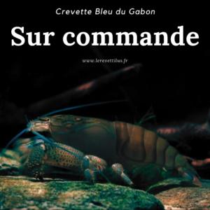 Atya Gabonensis Bleue du Gabon