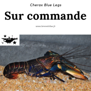 Cherax Blue Legs