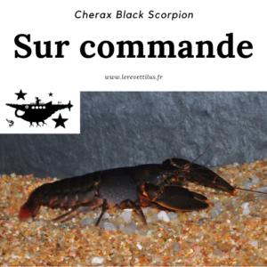 Cherax Destructor Black Scorpion