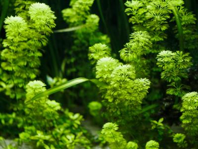 plantes aquarium